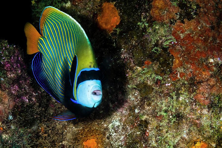 Emperor Angelfish Photograph - Emperor Angelfish by Roberto Palmer