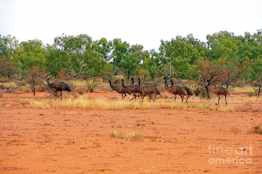 Emus In The Wild By Kaye Menner Photograph