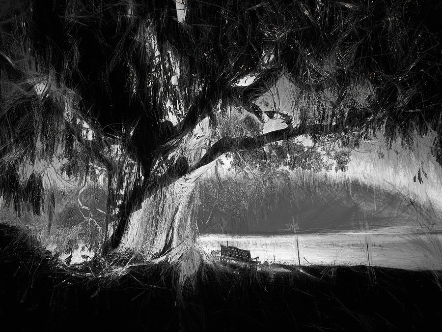 Eucalyptus Sunsets In Bw Photograph