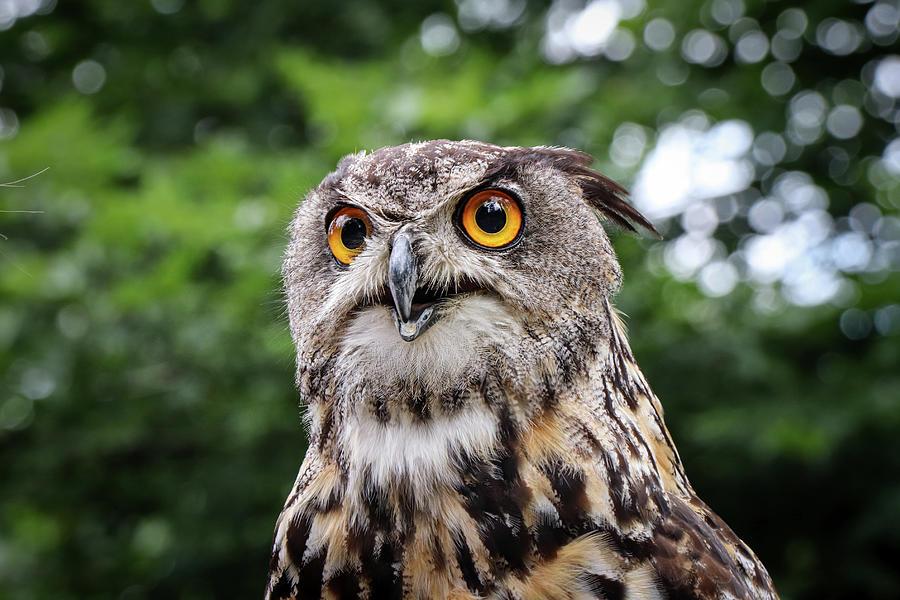 Eurasian Eagle-owl - Magical Look Photograph