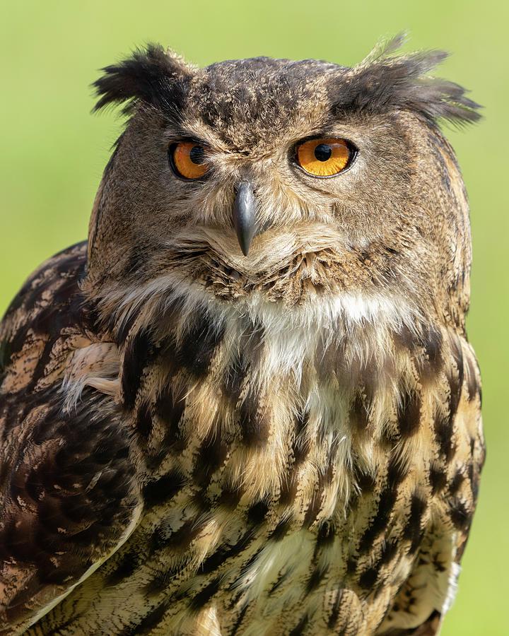 Eurasian Owl Close Up Photograph