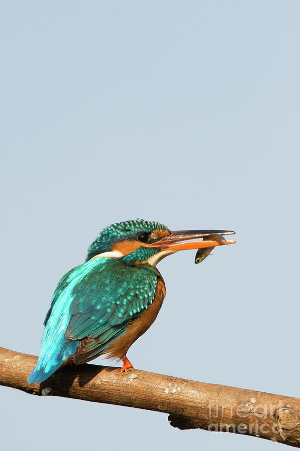 European Kingfisher with a fish in India at Sunrise by Tim Gainey