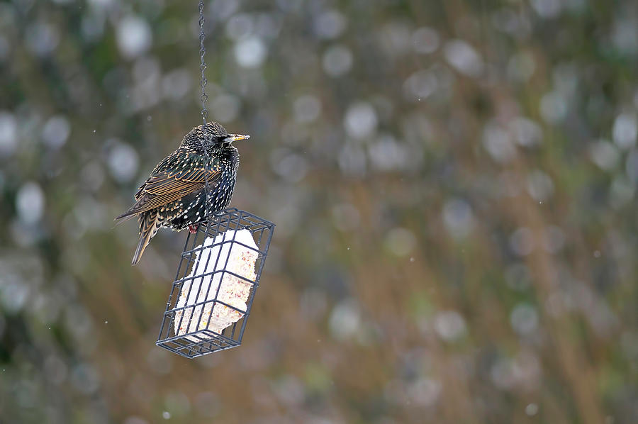 European Starling on Suet Feeder in the Winter by Sharon Talson