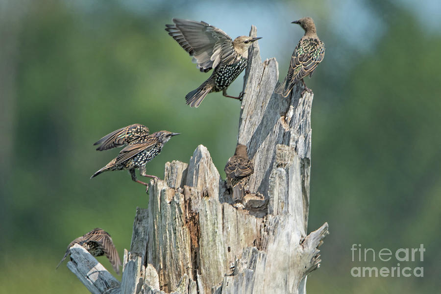Birds Photograph - European Starlings by Gaby Swanson