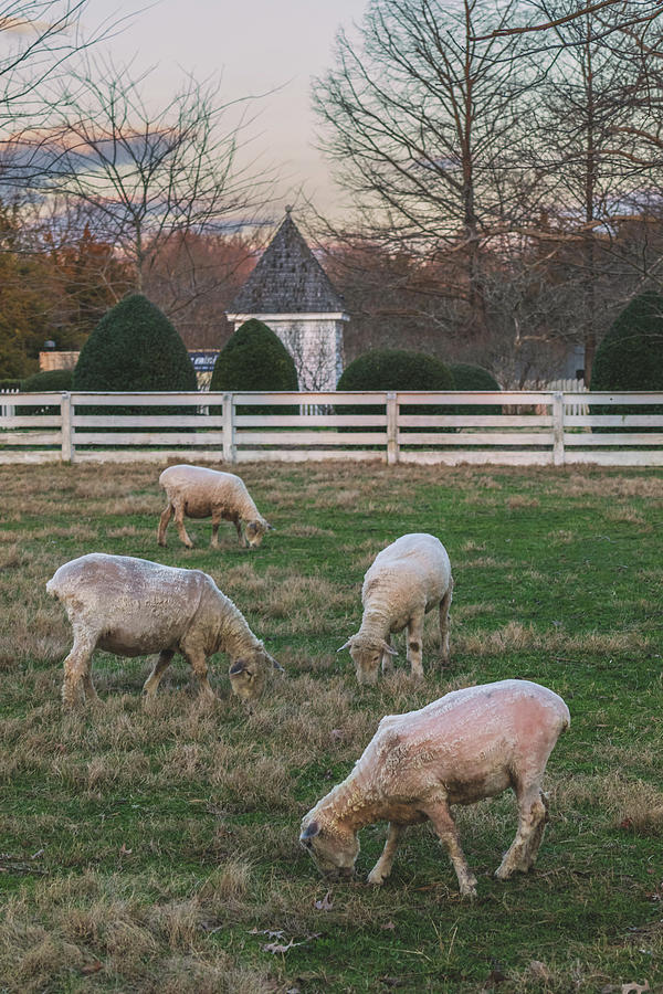 Ewes In February Photograph