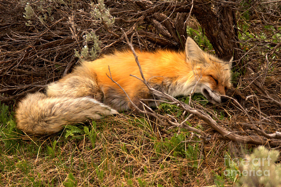 Exhausted In The Sage Brush by Adam Jewell