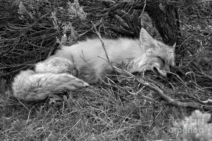 Exhausted In The Sage Brush Black Ad White by Adam Jewell