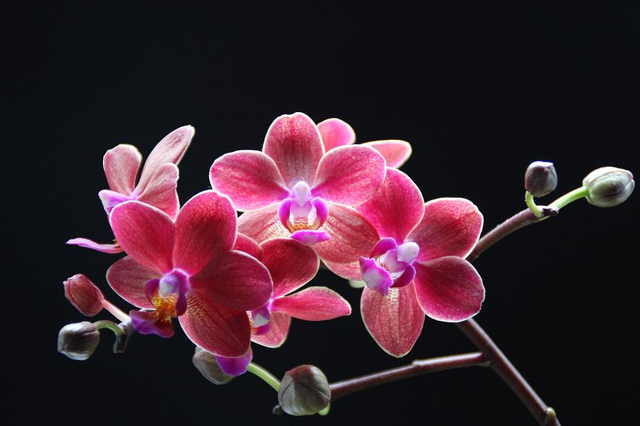 Exotic Pink Orchids Branch Photograph