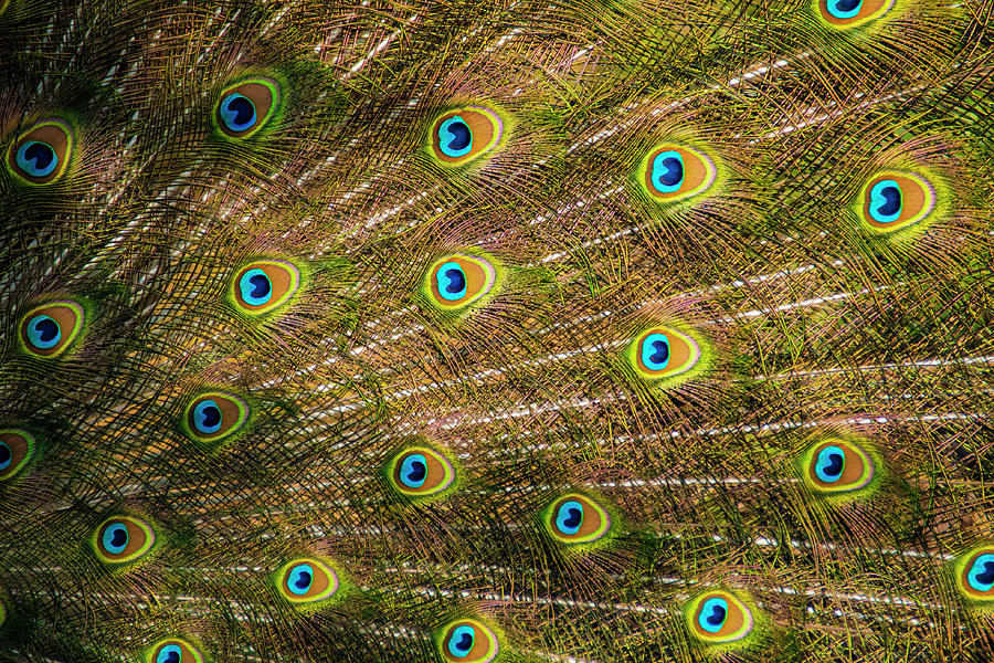 Peacock Photograph - Extravagant Display by Melissa Southern