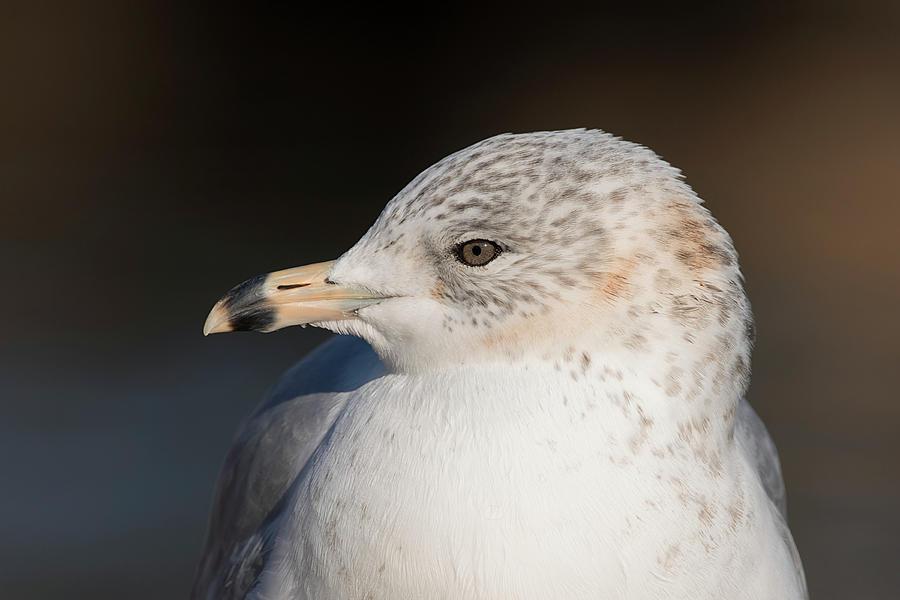 Eye to Eye - Ring-billed Gull - Larus delawarensis  by Spencer Bush
