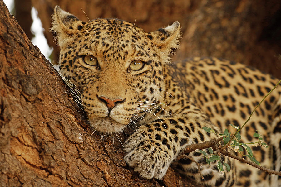 Animals Photograph - F. Leopard in a tree by MaryJane Sesto