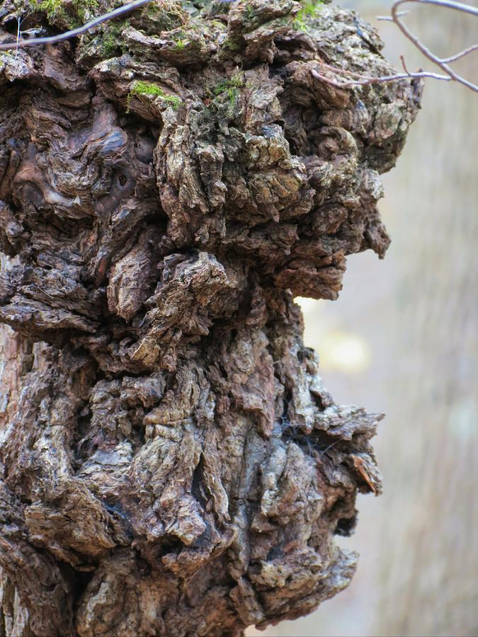 Tree Photograph - Faces by Azthet Photography