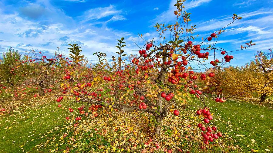 Fall Apple Tree Photograph