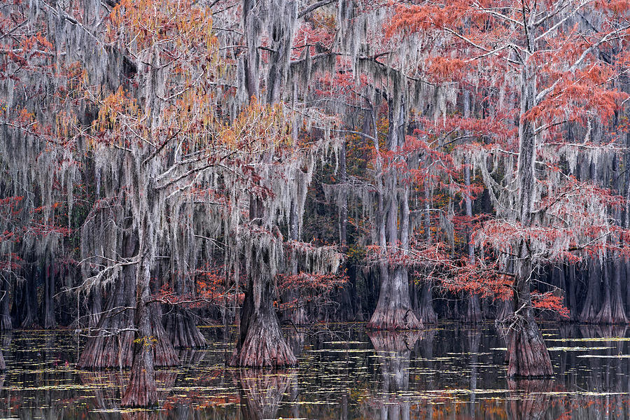 Fall Bald Cypress Photograph