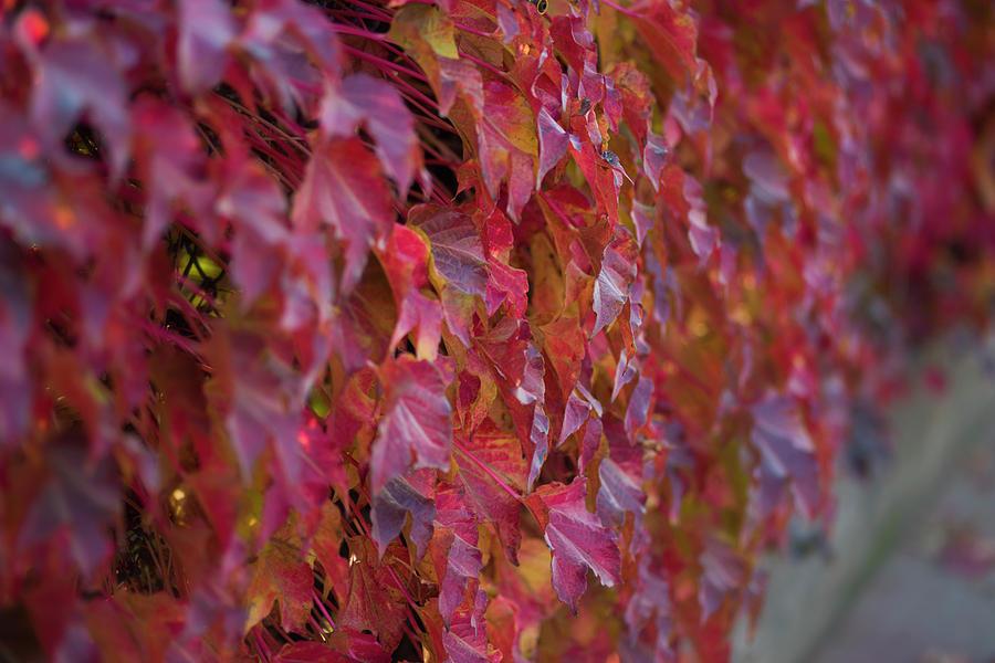 Red Photograph - Fall Ivy by Jonathan Hansen