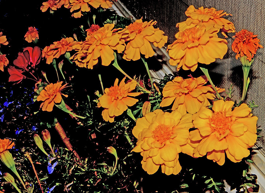 Fall Marigolds In Window Box 2 9192020 0843 Photograph by David Frederick