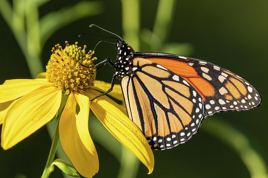 Fall Monarch 2016-18 Photograph