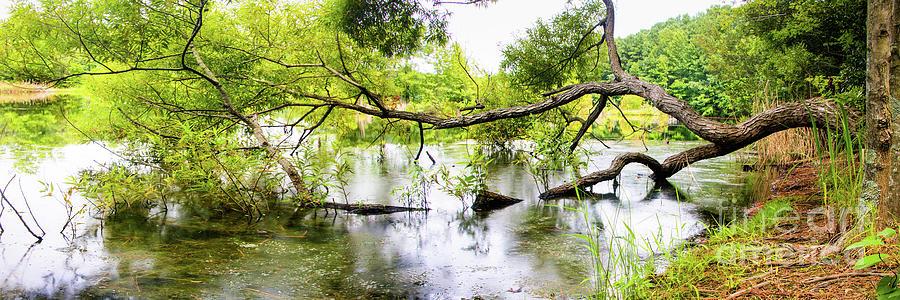 Fallen Lake Tree - Panorama Photograph