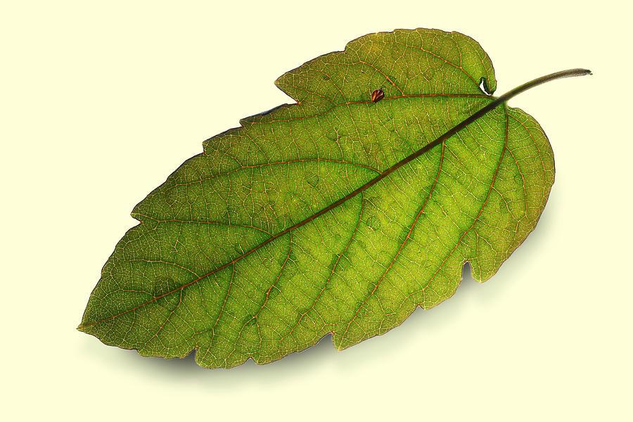 Leaf Photograph - Fallen Leaf by Siene Browne