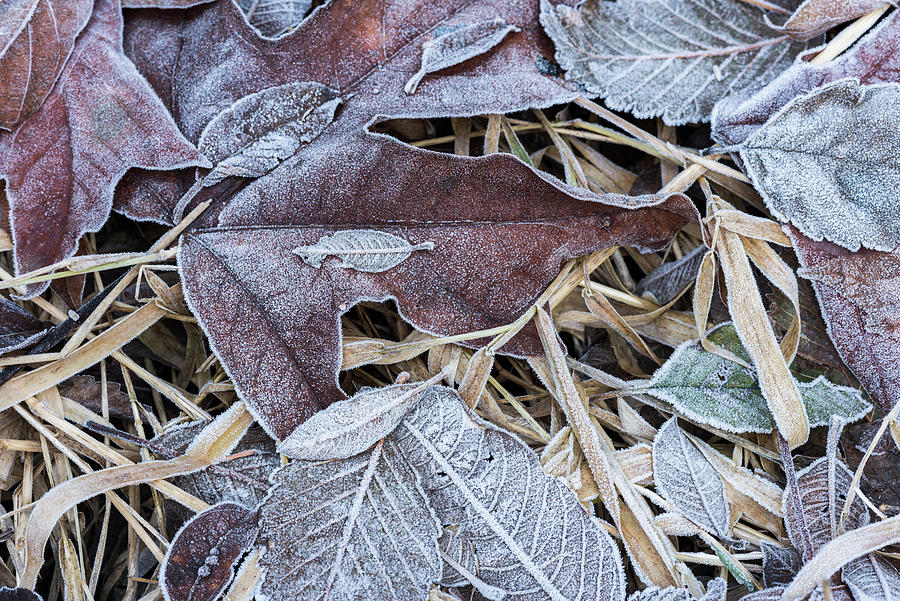 Fallen Leaves and Frost by Robert Potts