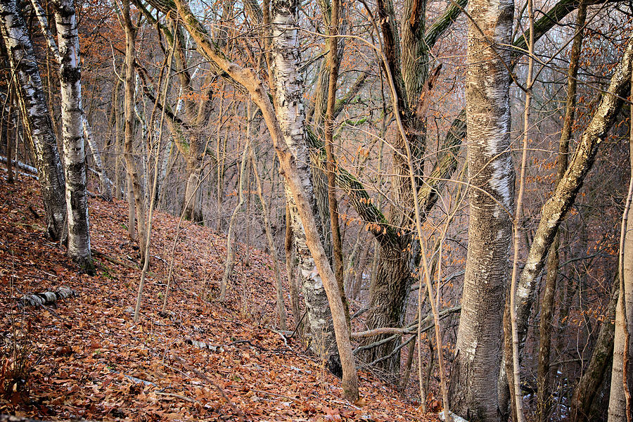 Birch Photograph - Fallen Rock State Preserve by Bonfire Photography