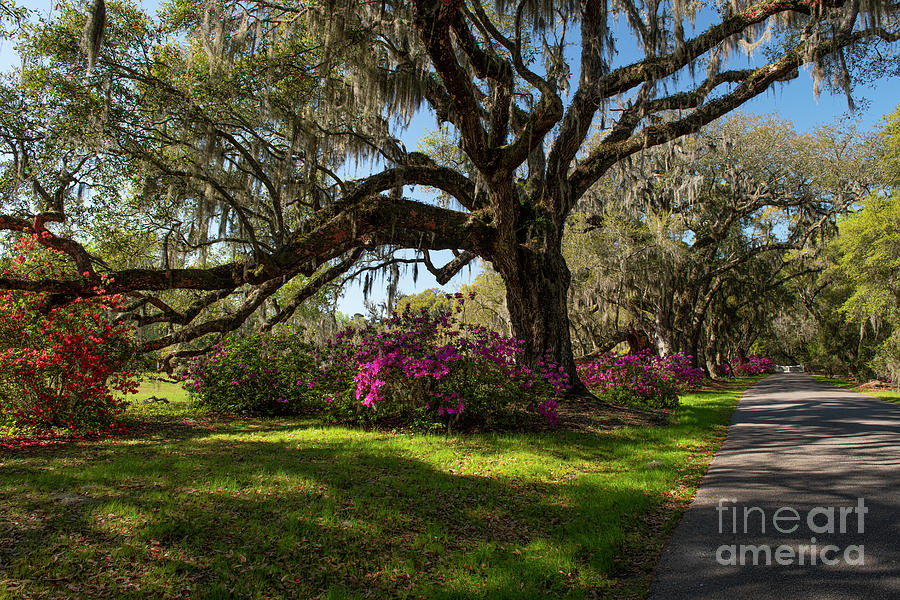 Famed Gardens - Magnolia Plantation Photograph