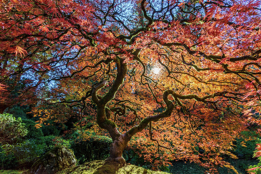Famous Portland Japanese Maple Tree by Mike Centioli