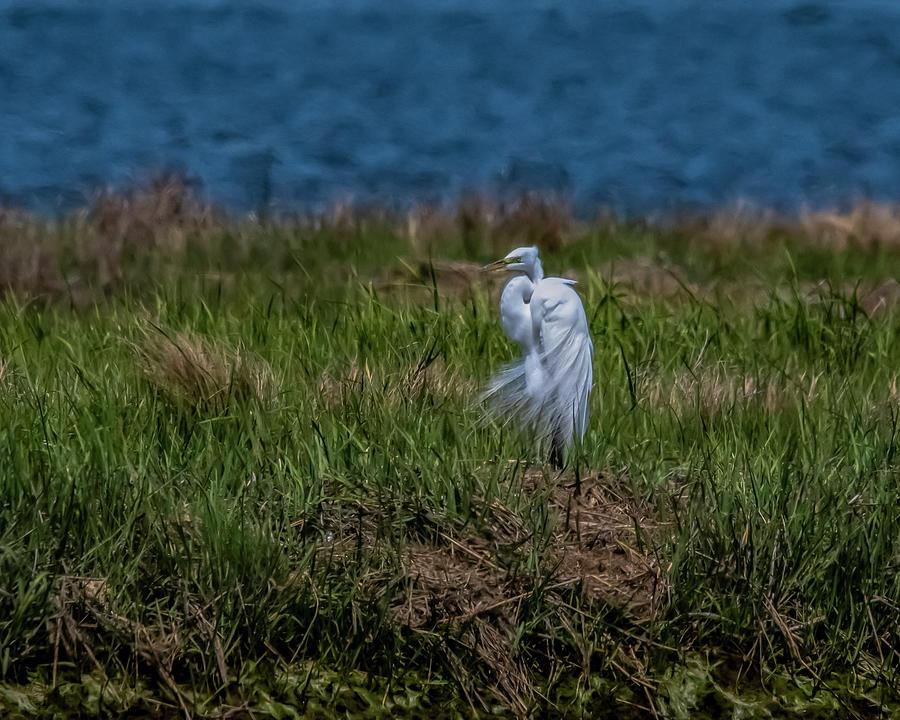 Bird Photograph - Fancy Egret by Cathy Kovarik