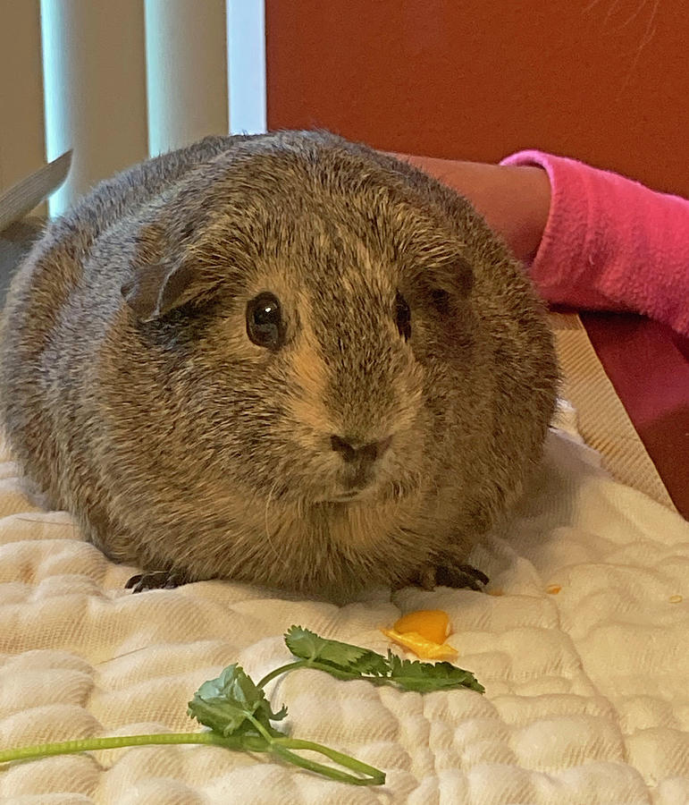 Fat Brown Guinea Pig 8908.jpg Photograph by David Frederick