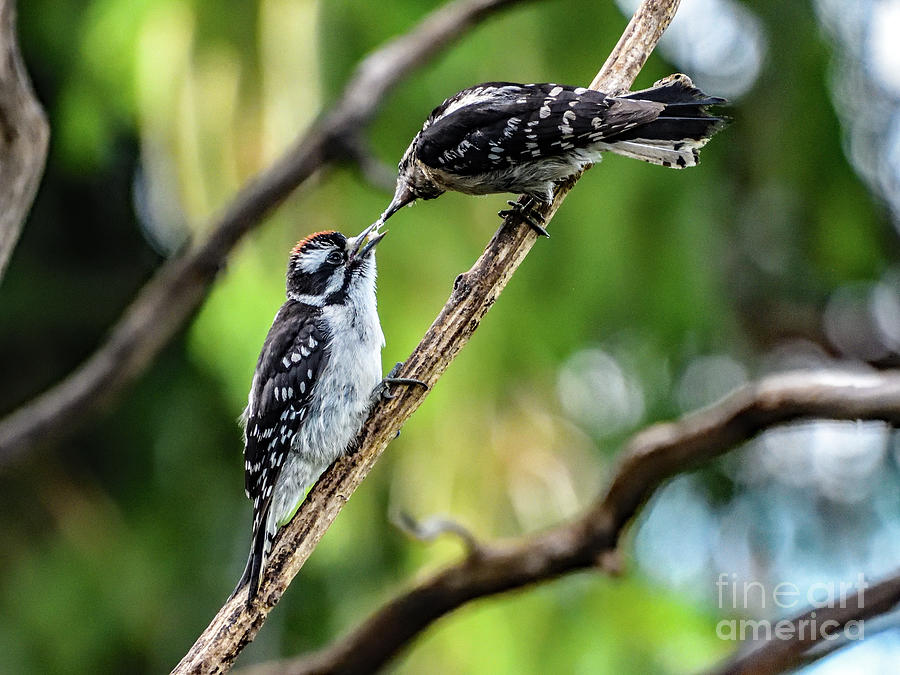 Nature Photograph - Father Downy Woodpecker Feeding Son by Cindy Treger