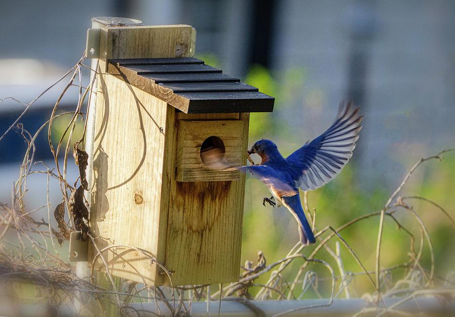 Bluebird Photograph - Fatherhood by Jim Cook
