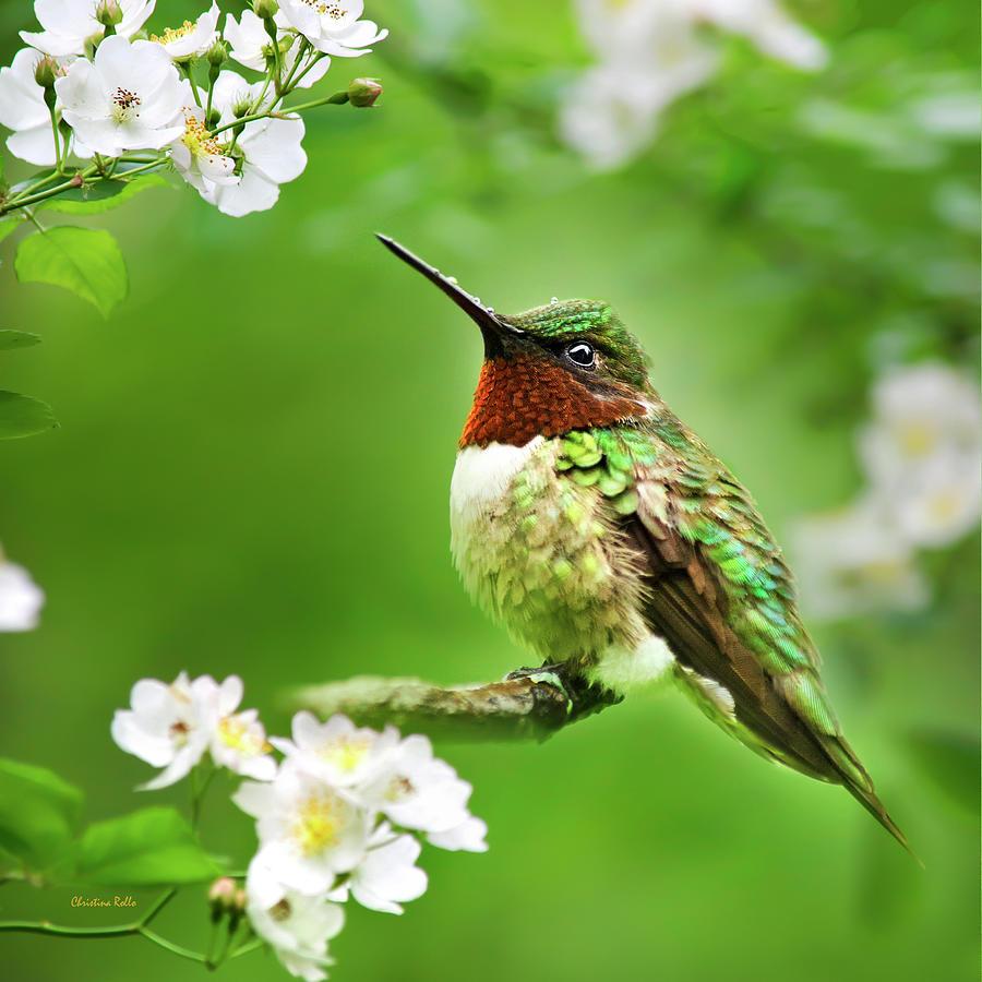 Fauna And Flora Hummingbird Square Photograph