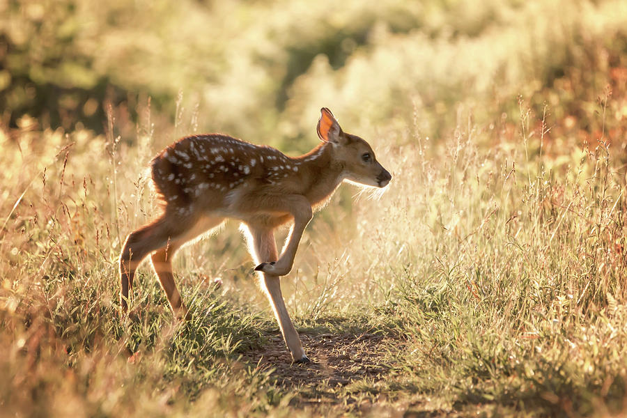 Fawn Crossing by Travis Rogers