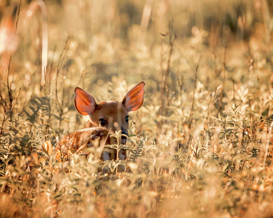 Fawn in the Meadow by Travis Rogers