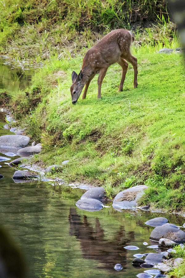 Fawn On The Mckenzie, No. 5 Photograph