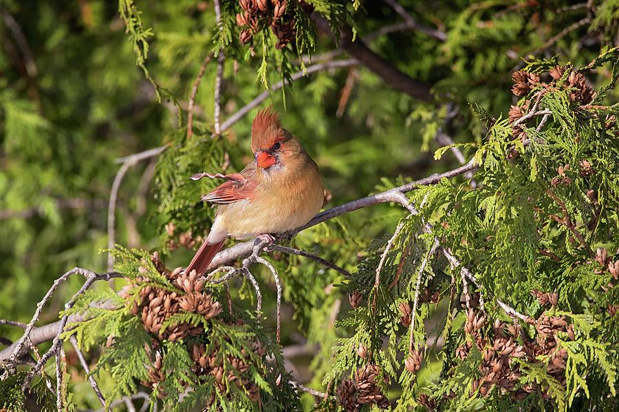 Feather Frizz - Female Northern Cardinal - cardinalis cardinalis by Spencer Bush