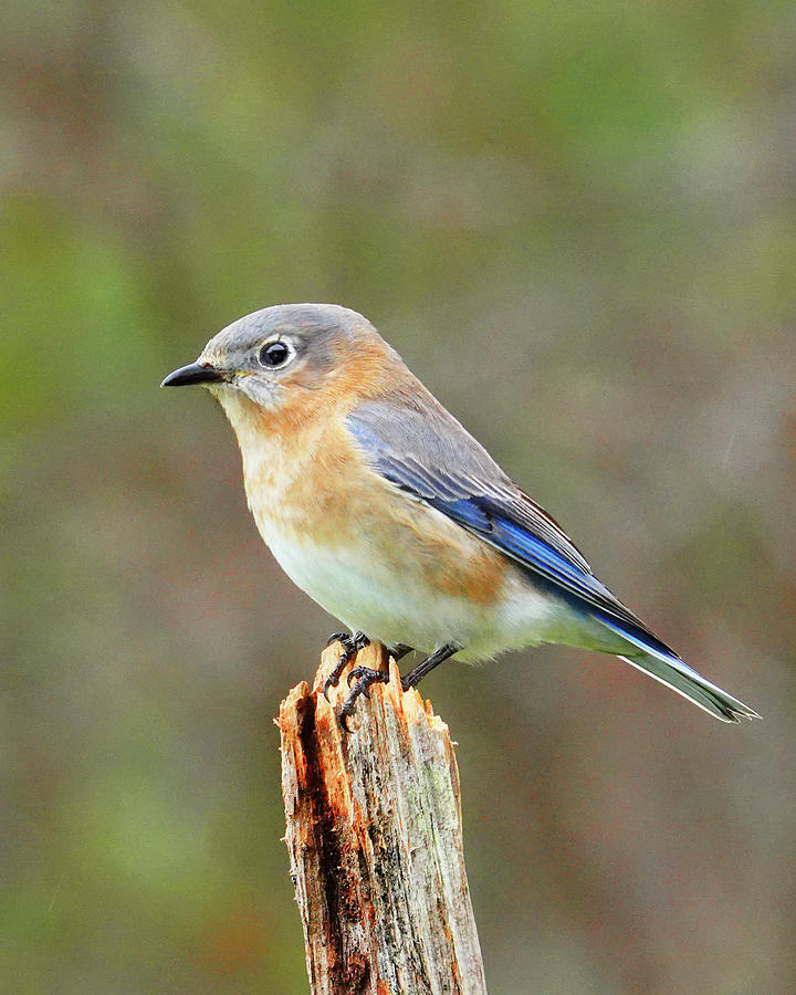 February Bluebird Photograph