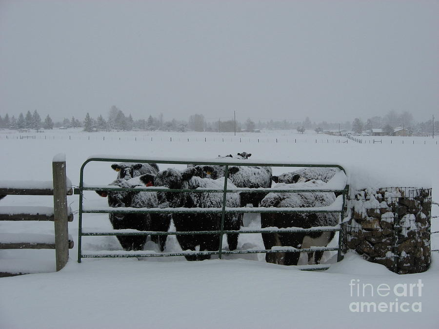 Cattle Photograph - Feeding Time by Gary Wing