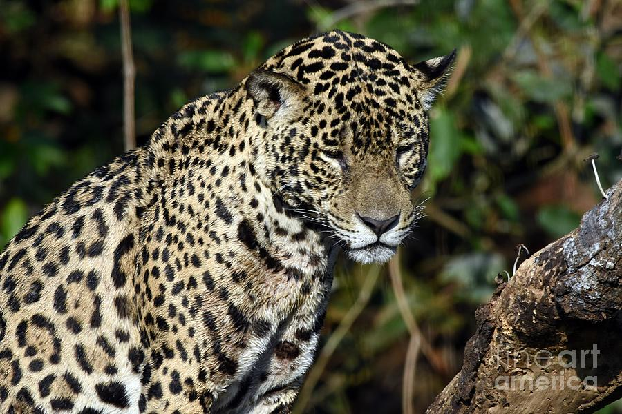 Jaguar Photograph - Feeling Sleepy by Dorinda Balchin