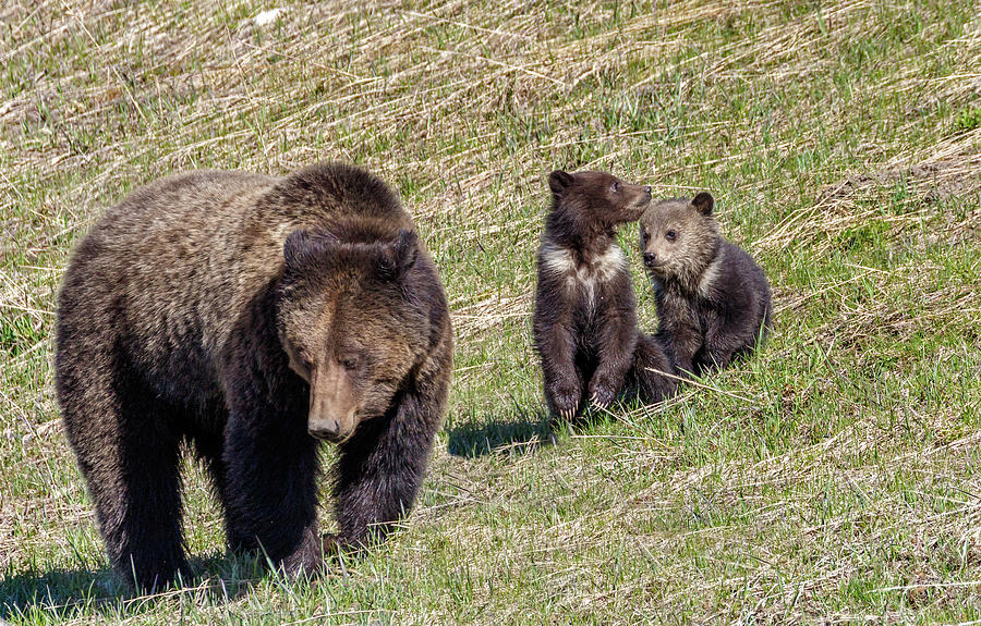 Felicia and cubs by Ronnie and Frances Howard