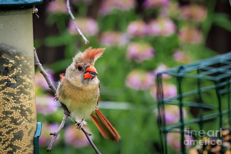 Female American Cardinal Perched On A Fe Photograph