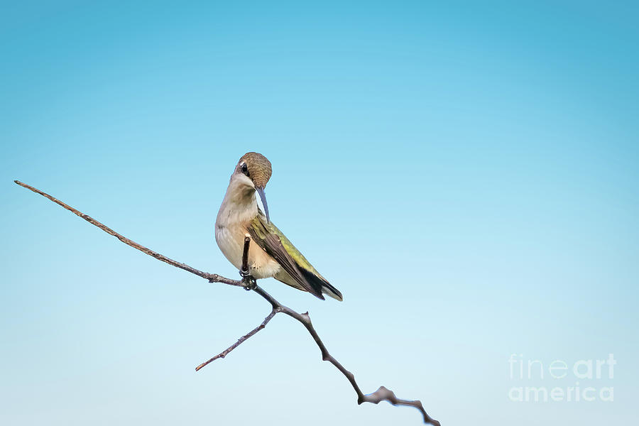 Landscape Photograph - Female Black-chinned hummingbird perched by Richard Smith