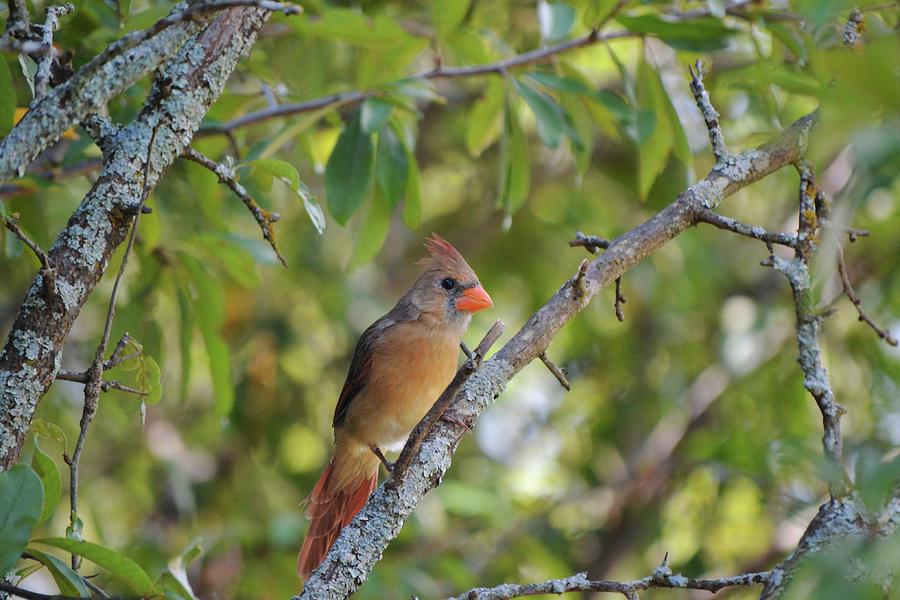 Female Cardinal Bird On Lichen Branch Photograph