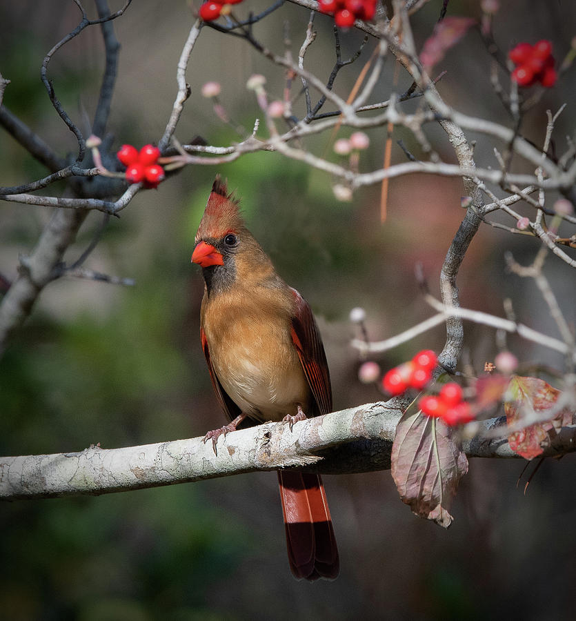 Female Cardinal by Kenny Nobles