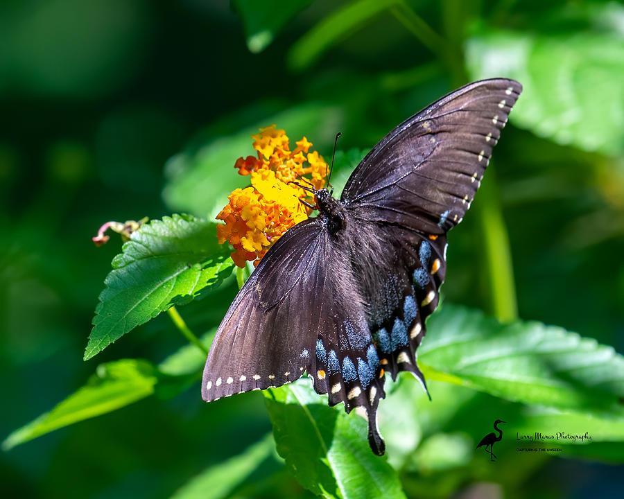 Female Eastern Tiger Swallowtail-dark morph Photograph by Larry Maras