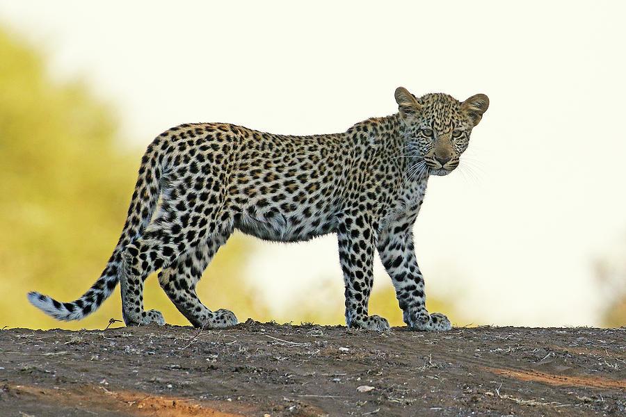 Big 5 Photograph - Female Leopard Cub by MaryJane Sesto