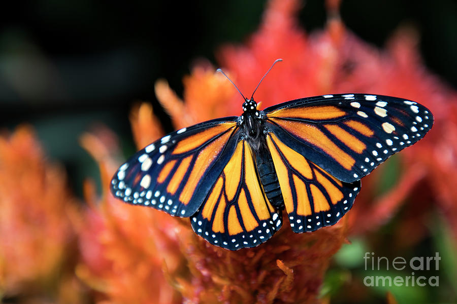 Female Monarch Butterfly Photograph