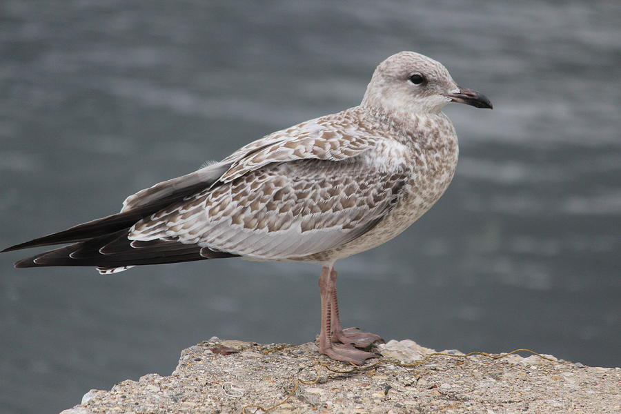 Ring-billed Gull Photograph - Female Ring-billed Gull by Callen Harty