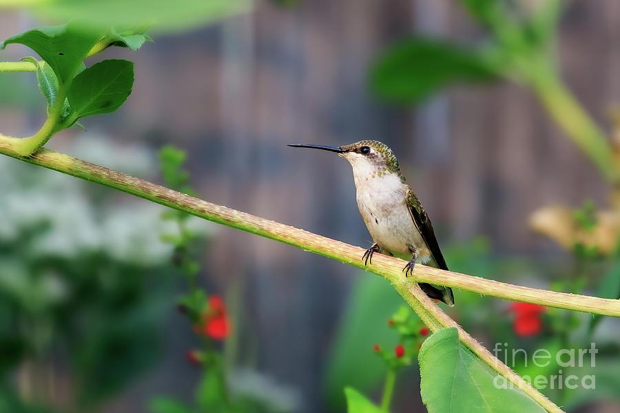Female Ruby-throated Hummingbird In Oklahoma Photograph