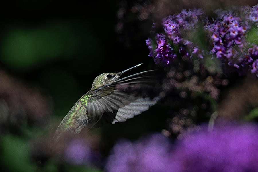 Female Rufous In A Butterfly Shrub Photograph